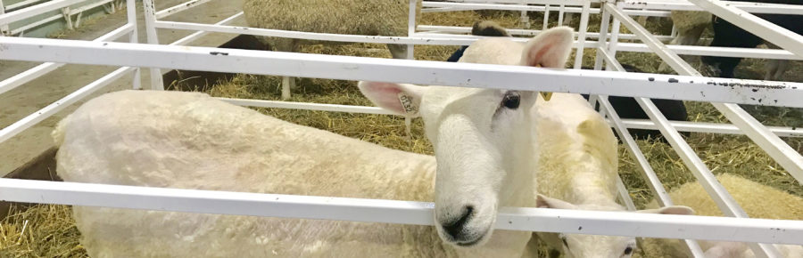 Lambs chilling at the Big E; photo courtesy of Kathryn Wilkinson